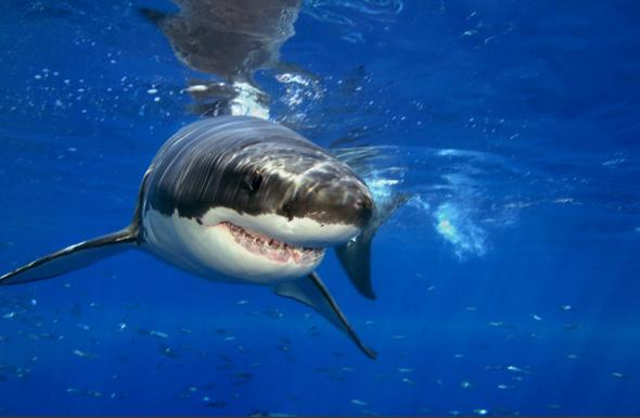 大白鯊圖集:海洋中最大的掠食性魚類圖片