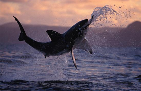 大白鲨图集:海洋中最大的掠食性鱼类