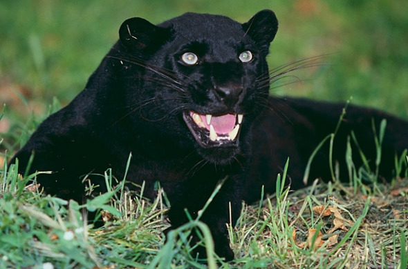 这种黑色大型猫科动物生活在非洲,亚洲以及拉丁美洲.