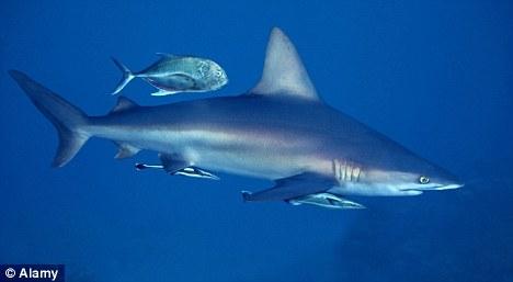 立体鲨鱼怎么折图解