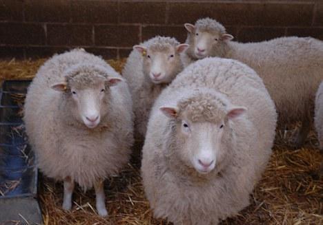 克隆羊多莉重生:英国培育出四只复制品-克隆羊