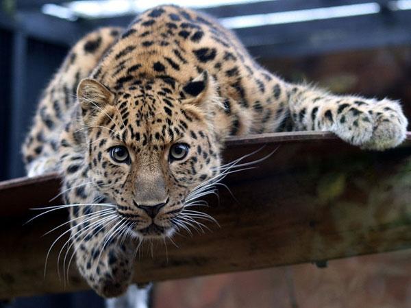 """今年9月19日,中国科学家收获了一份巨大惊喜——全球不到40只的远东豹,出现在吉林某林场内的红外触发相机镜头中。这是今年国内第二次捕捉到这种稀有大猫的影像,也是我国建国以来首次由研究人员拍到远东豹,不过,这可不是乌龙的""""周老虎""""。保护远东豹,需要你我关注。 2011年9月19日,我国科研人员在吉林野外拍摄到远东豹照片2张。远东豹,是继华南虎后现存最稀有的大型猫科动物。全世界估计仅有30-35只;我国曾被认为已无分布,现最乐观的估计也仅有7-12只。 下边就是"""