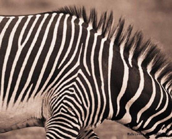 一个多世纪以来,鲁德亚德-吉卜林的故事《Just So》通过虚构的方式解释了为什么动物们看起来是这个样子,这让孩子们(还有成年人)感到高兴,但是虽然吉卜林讲述豹子的斑点和骆驼的驼峰,却从不讲述斑马的条纹。一项最新的研究填补了这个空白,这次是真实的资料。 抛开了一系列可能的解释,新的研究成果声称斑马黑白相间的条纹图案以一种方式反射光线来帮助它们远离传播病毒的苍蝇。饥饿的苍蝇或许不是推动斑马进化出条纹的唯一动力,但是这个发现或许能提供一些方法,来帮助防御动物甚至是帮助人们抵御一些昆虫。 一位来自瑞典兰德大学的