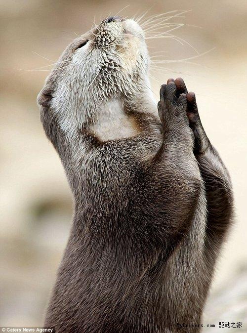 抓拍趣图:可爱水獭双手合十如同祈祷