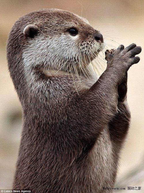 """荷兰动物园4岁水獭""""祈祷""""走红 得到食物感谢游"""
