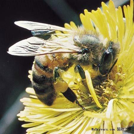"""新闻中心 科学动态 生物世界 > 动物界十大奇特交配方式  """"处女""""蜜蜂"""