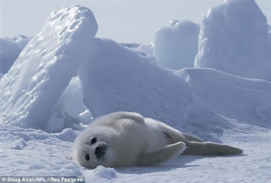 微信头像动物可爱海豹