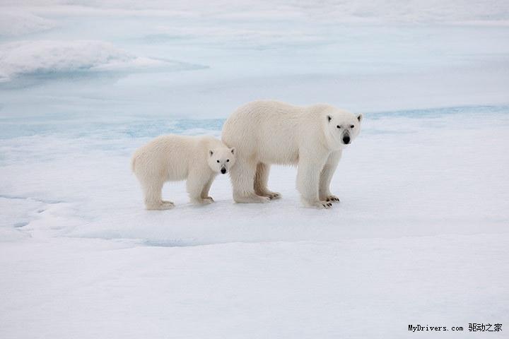 北极熊是世界上最大的陆生食肉动物