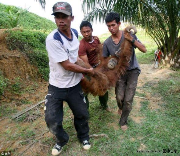 印尼森林砍伐 红毛猩猩失去家园伤心惨死