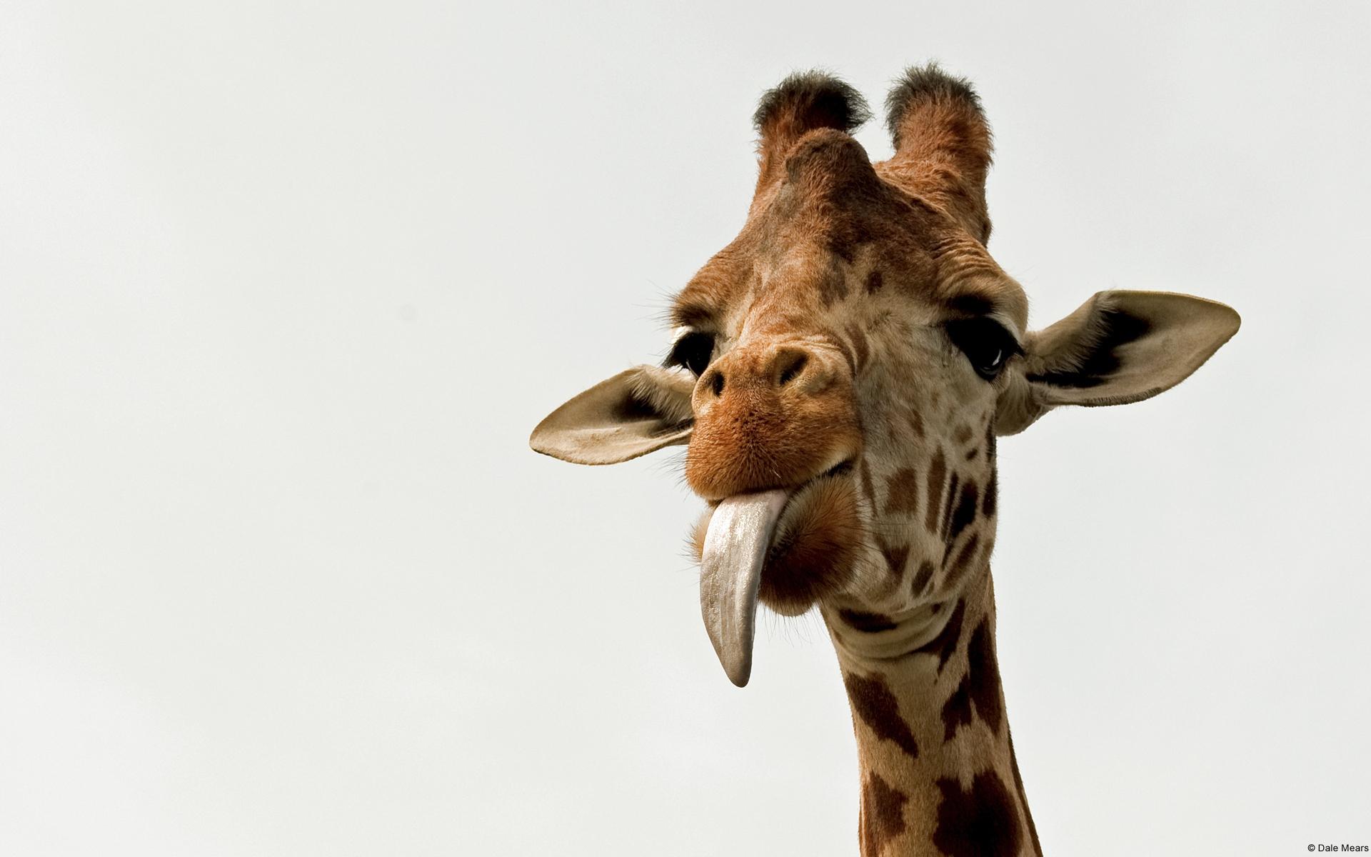 长颈鹿可爱电脑壁纸