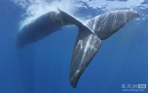 最大动物蓝鲸图文图片