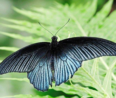 英国发现罕见人妖蝴蝶:身体半雄半雌几率0.01%