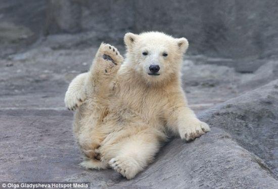 可爱北极熊宝宝做伸展运动似练瑜伽
