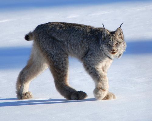 13种可爱的北极动物  想起狼獾,你脑海里会浮现什么?