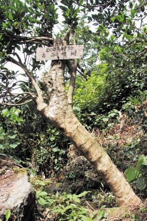 古茶叶树生长在岩壁上