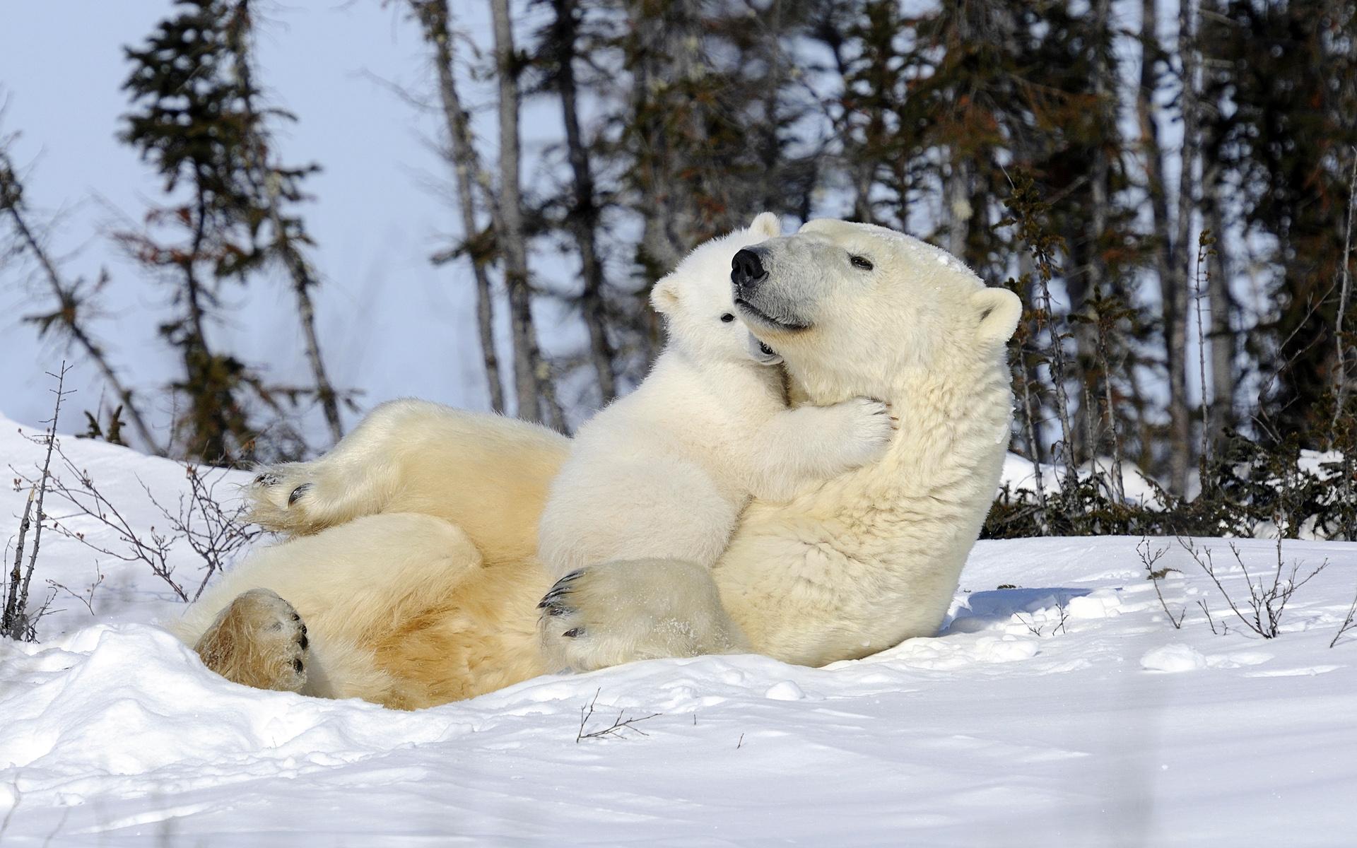 之家中心主题水獭新闻壁纸北极熊的拥抱,蚊子用a之家的v之家,狮子的b型血怎么那么招软件图片