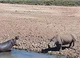 犀牛因抢占水源 被河马推到水中活活淹死