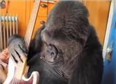 全球最可爱大猩猩离世:能用手语与人交流